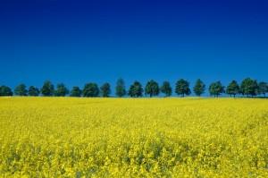 colza's field